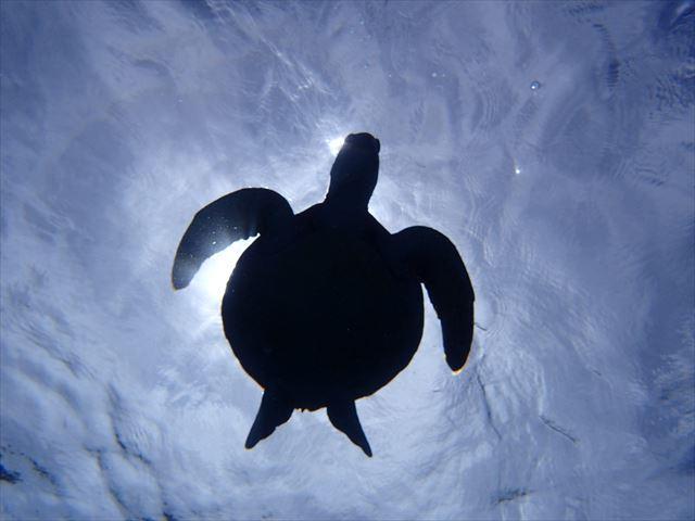 水中から見たウミガメと太陽