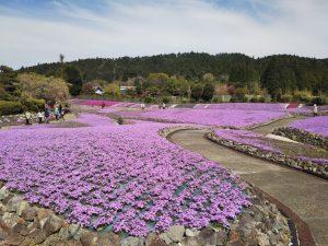 永沢寺の芝桜